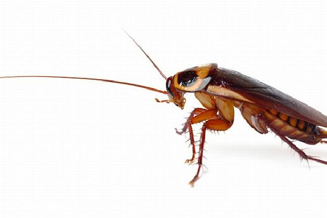 Domowe sposoby na insekty: co na karaluchy, prusaki czy mrówki faraona?
